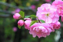 Flowering plum Royalty Free Stock Image