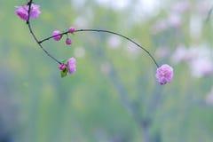 Flowering plum. The close-up of flowering plum. Scientific name: Prunus triloba royalty free stock image