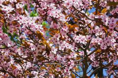 Flowering plum. Crown of flowering plum with pink flowers closeup stock photo