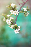 Flowering plum Stock Photos