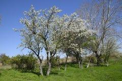 Flowering plum garden stock photos