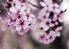Flowering Plum Petals Stock Photography