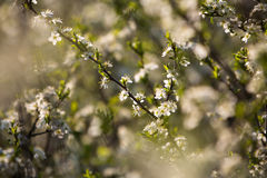The  flowering plum Royalty Free Stock Photography