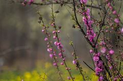Flowering plum Stock Images