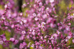 Flowering plum Royalty Free Stock Photos