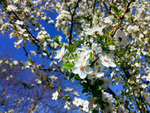 Flowering plum Stock Photos