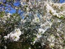 Flowering plum Royalty Free Stock Photo