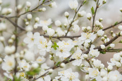Flowering plum tree Stock Image