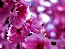 Flowering Plum Tree Blossoms. Looking through flower ring plum tree as it blooms in vibrant colors Stock Photos