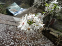 Flowering plum tree. Closeup flowering plum tree, Sochi, Krasnaya Polyana, April 2012 Royalty Free Stock Photo
