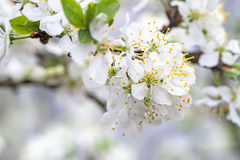 Flowering plum tree royalty free stock photo