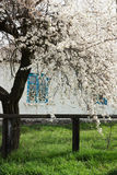 Flowering plum tree. Near the house in the village stock images