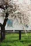Flowering plum tree Stock Images