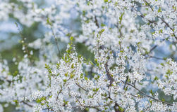 Flowering plum tree Stock Photos