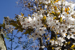 Flowering plum tree on a sunny day Stock Photos