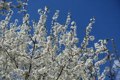 Flowering plum tree under blue sky. Flowering plum tree under clear blue sky Stock Photos