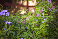 Flowering plumbago with butterfly on it close-up shallow depth o Stock Photo