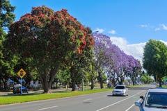 Flowering pohutukawa and jacaranda trees in Tauranga, New Zealand stock photo
