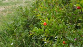 Flowering pomegranate fruit on the tree. In Montenegro stock video footage
