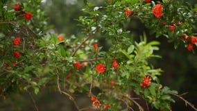 Flowering pomegranate fruit on the tree stock video