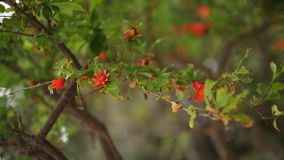 Flowering pomegranate fruit on the tree. In Montenegro stock video