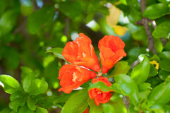 Flowering pomegranate tree Stock Image