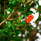 Flowering Pomegranate Royalty Free Stock Images