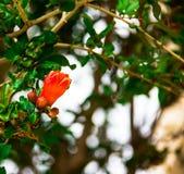 Flowering Pomegranate Stock Photos