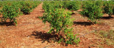 Flowering Pomegranate Trees Royalty Free Stock Image