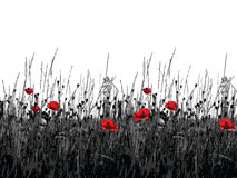 Flowering of the poppies. Blackly white background with the flowering of the red poppies Royalty Free Stock Image