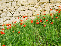 Flowering poppies against the vintage stonework. Flowering poppies on the background of the ancient stonework Royalty Free Stock Images
