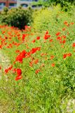 Flowering poppies on the coast royalty free stock photography