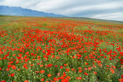 Flowering poppies in cloudy weather Royalty Free Stock Photography