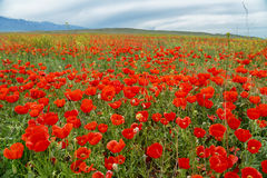 Flowering poppies in cloudy weather Stock Image