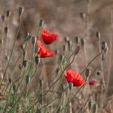 Flowering poppies in the field royalty free stock photo