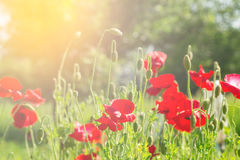 Flowering poppies. A field of poppies. Sunlight shines on plants. Stock Photos