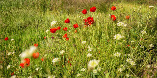 Flowering poppies on meadow Stock Image