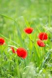 Flowering poppies Stock Image