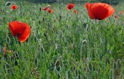 Flowering poppies Royalty Free Stock Image