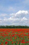 Flowering poppies's field Royalty Free Stock Photography