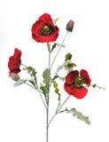 Flowering poppy Royalty Free Stock Image