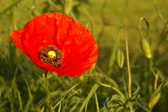 Flowering poppy Royalty Free Stock Images