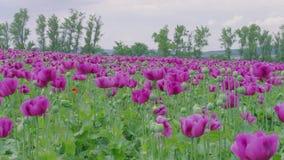 Flowering poppy field against green trees, windy, cloudy sky. Flowering violet poppies, poppy capsules field against green trees, cloudy sky. Purple and few red stock footage