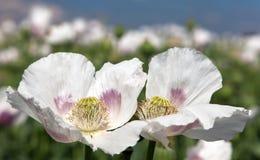 Flowering poppy field Stock Images