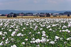Flowering poppy field with white flowers and village with church. Royalty Free Stock Image