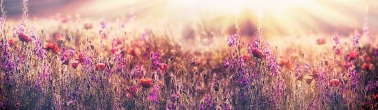 Flowering poppy flower - beautiful poppy flower and purple flower in meadow royalty free stock photography