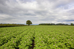 Flowering potato crop Stock Photography