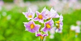 Flowering potato Royalty Free Stock Image