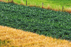 Flowering potato plants and golden barley field Royalty Free Stock Images