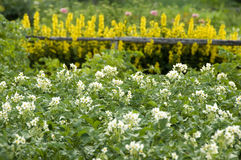 Flowering potatoes Stock Photos